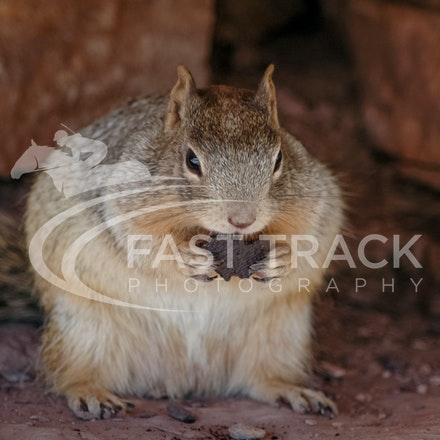 Grand Canyon, Squirrel, Oreo_Limited Edition Prints_014