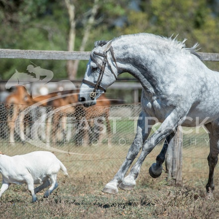 Stallion Shoot, Bart, Randles_16-01-14, Scone_011