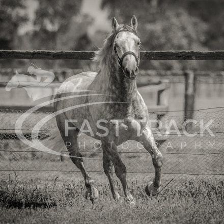 Stallion Shoot, Bart, Randles_16-01-14, Scone_003