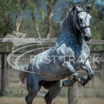 Stallion Shoot, Bart, Randles_16-01-14, Scone_015
