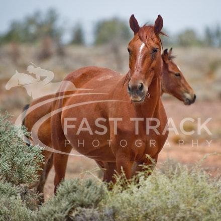 Australian Brumbies, South Australian Outback_008