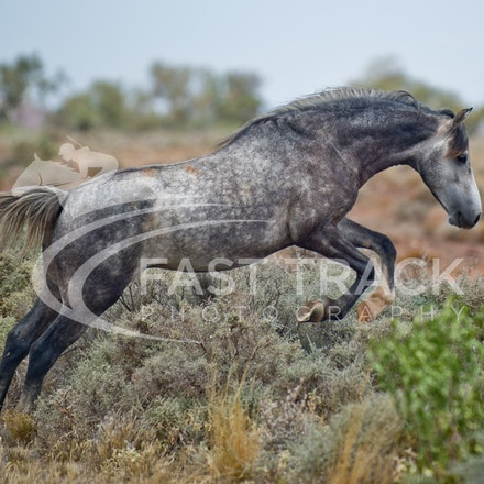 Australian Brumbies, South Australian Outback_010