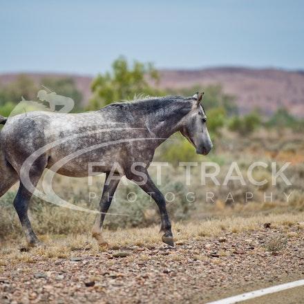 Australian Brumbies, South Australian Outback_009