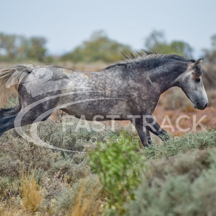 Australian Brumbies, South Australian Outback_011