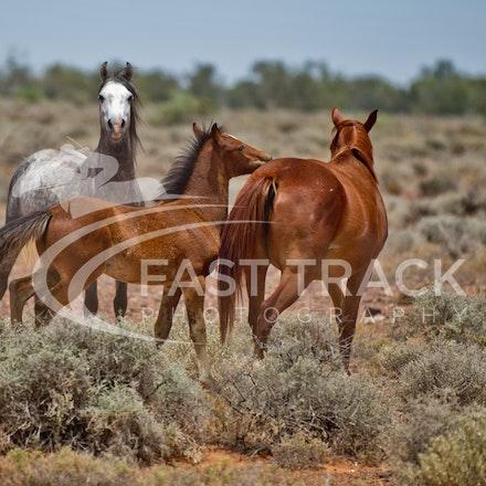 Australian Brumbies, South Australian Outback_013
