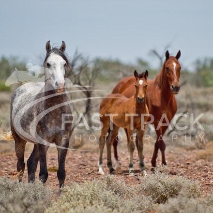 Australian Brumbies, South Australian Outback_014
