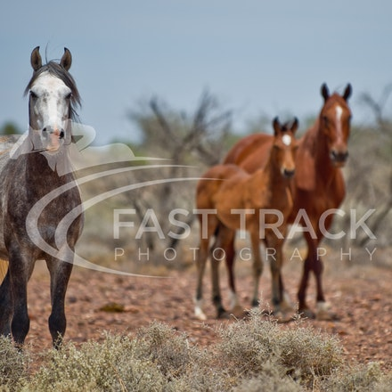 Australian Brumbies, South Australian Outback_015