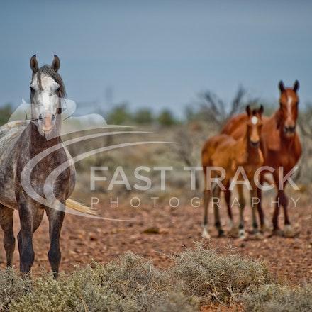 Australian Brumbies, South Australian Outback_017