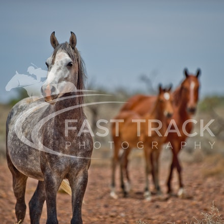 Australian Brumbies, South Australian Outback_018