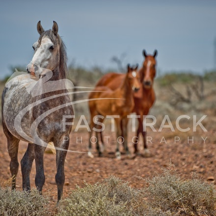 Australian Brumbies, South Australian Outback_020