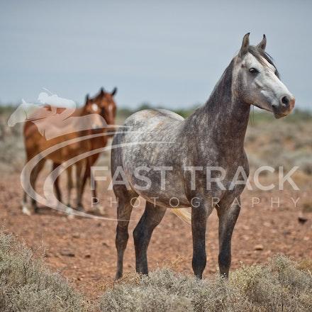 Australian Brumbies, South Australian Outback_022