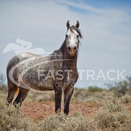Australian Brumbies, South Australian Outback_023