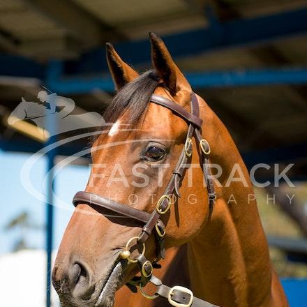 Lot 38, Pierro x Happy Heart, Colt, Erinvale_28-02-16, Inglis Premier, Melbourne, Sharon Chapman_0011