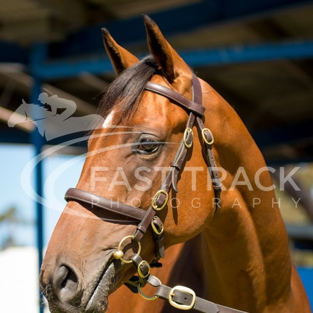 Lot 38, Pierro x Happy Heart, Colt, Erinvale_28-02-16, Inglis Premier, Melbourne, Sharon Chapman_0009
