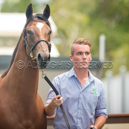 Lot 7, Snitzel x Fashion Police, Filly, Luskin Park_11-01-17, Magic Millions_0034