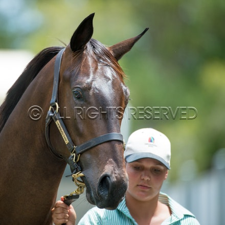 Lot 260, More Than Ready x Mystically, Colt,_12-01-17, Magic Millions_0121