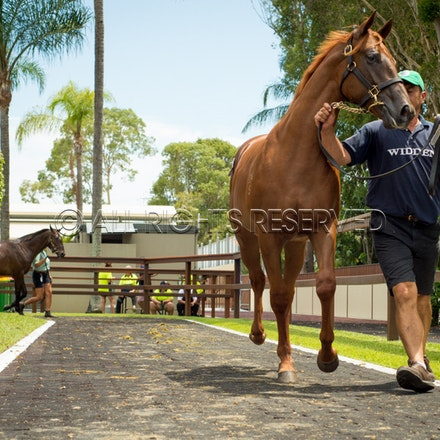 Lot 258, Star Witness x My Dear Friend, Colt, Widden Stud_12-01-17, Magic Millions_0308