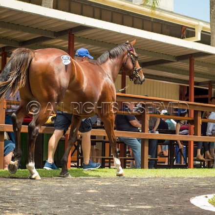 Lot 259, Fastnet Rock x My Tusker, Colt, Tyreel Stud_12-01-17, Magic Millions_0311