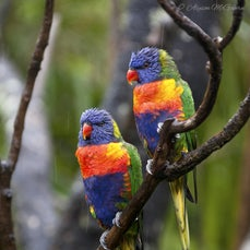 Birds & Animals - A collection of Australian Native Birds & Animals