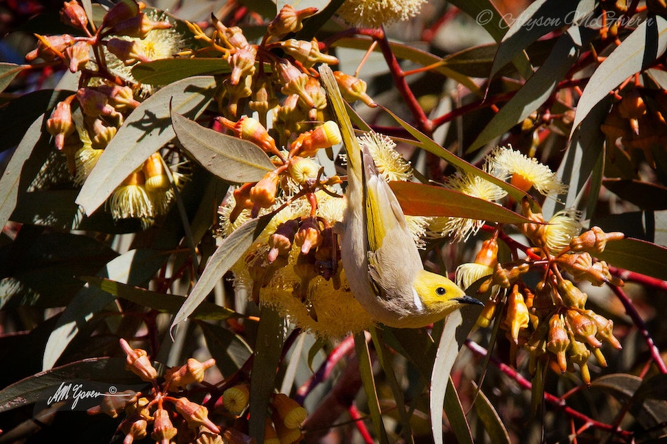 White-plumed Honeyeater hanging in blossoming gumtree NT_2148 - White-plumed Honeyeater feeding on the Gumtree blossoms at Kings Canyon