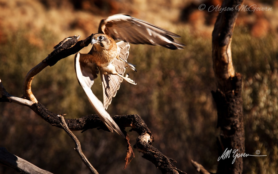 Brown Falcon in flight NT_4457 - The Brown Falcon is one of the magnificent birds of prey found in the drier regions of Australia.