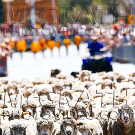 Running of the Sheep Woolfest 2014