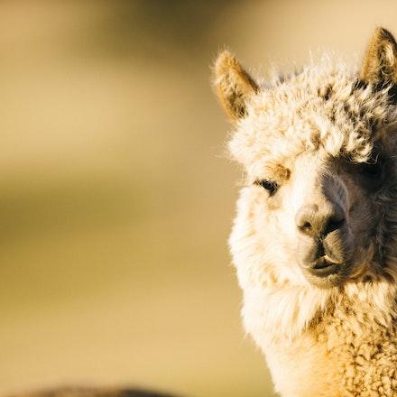 Humphrey Law - Merino and Alpaca