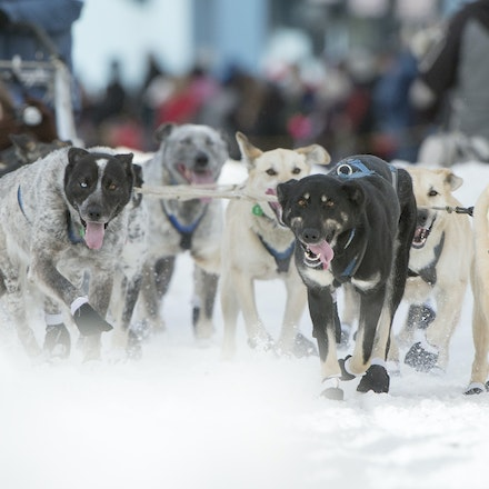 _PB19240 - 2016, March 5th. The Ceremonial start to the 2016 Itidarod, Dogsled race held in Anchorage. Dubbed as the Last Great Race. There was not enough...