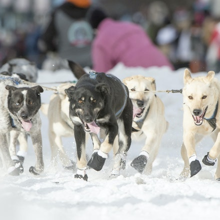 _PB19250 - 2016, March 5th. The Ceremonial start to the 2016 Itidarod, Dogsled race held in Anchorage. Dubbed as the Last Great Race. There was not enough...