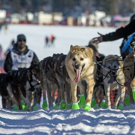 _PB11990 - 2016, March 6th. The start to the 2016 Itidarod, Dogsled race. Dubbed as the Last Great Race.  Mushers leave Willow for the start of the 1049...
