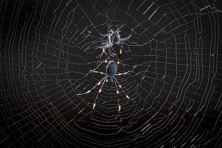 140401_GoldenOrb_3153 - Golden Orb Web Spider (Nephila plumipes, female). NSW (Australia) on April 01 2014. Photo: Jan Vokaty