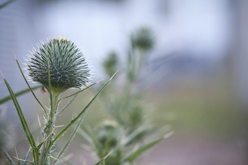 The Thistle.. - Toowoomba, Australia.