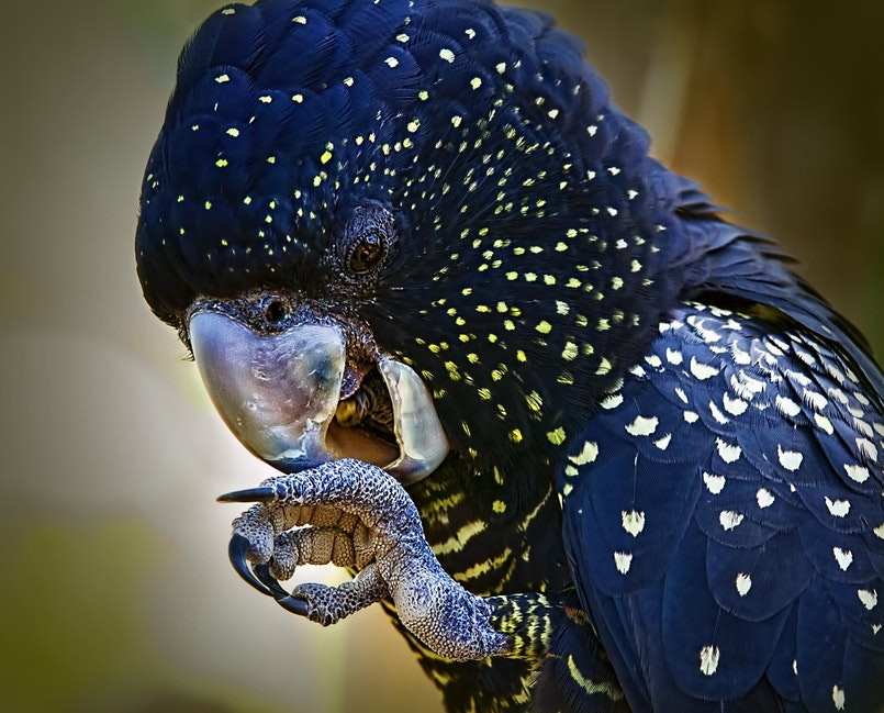 114 Black Cockatoo