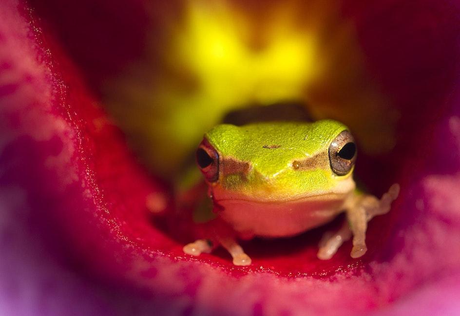 119 Frog In Allamanda Flower