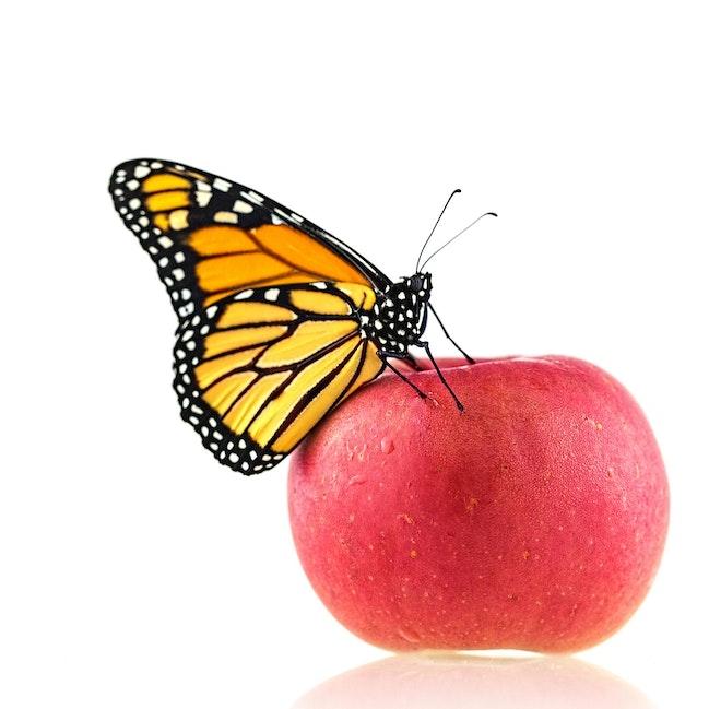 135 Monarch On Apple