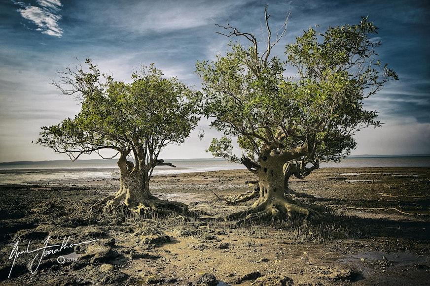 Trees Karratha Beach A3
