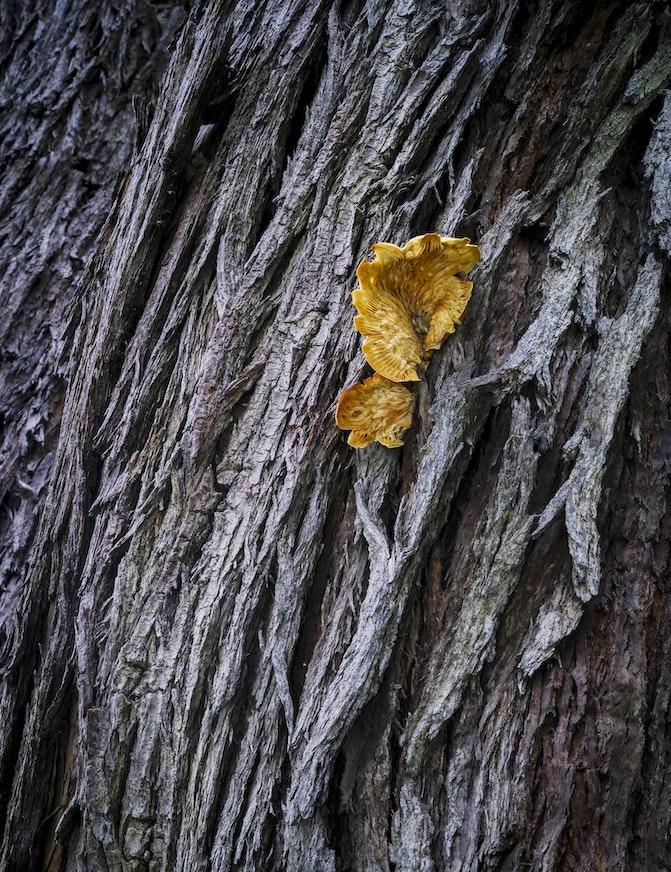 Mushroom On Tree L-2