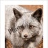 8x10 2K3A0232 Silver Fox