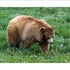 10x8 Brown Bear 2K3A1665