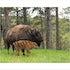 10x8 Buffalo and Baby 2K3A1687