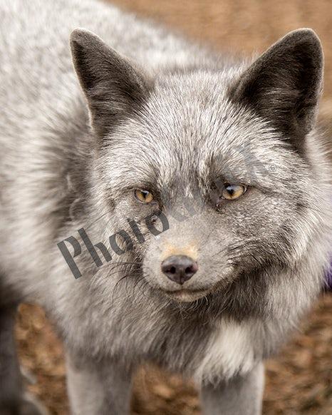 2K3A0232 Silver Fox