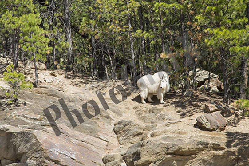Mountain Goat 2K3A1770