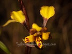 Donkey Orchids & Doubletails