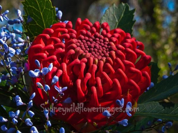 Waratah and Love Creeper - Telopea spciossisima & Comesperma volubile