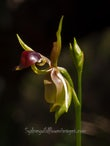 Duck Orchids