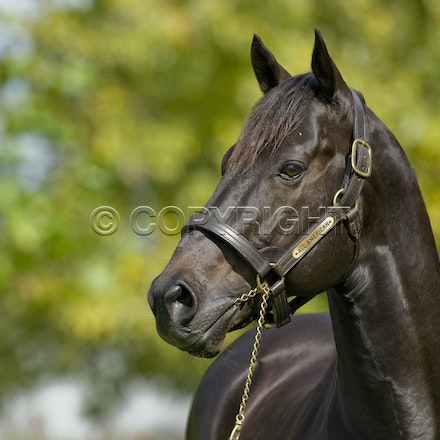 All American - All American (Red Ransom - Milva) photographed at Arrowfield Stud.  He defeated the champion So You Think in the G1 Emirates Stakes in 2009....