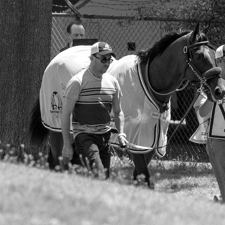 AmericanPharoah-Schooling-07312015- - 2015 Triple Crown Champion, American Pharoah at Monmouth Park Racecourse, preparing for the 2015 Haskell Invitational...
