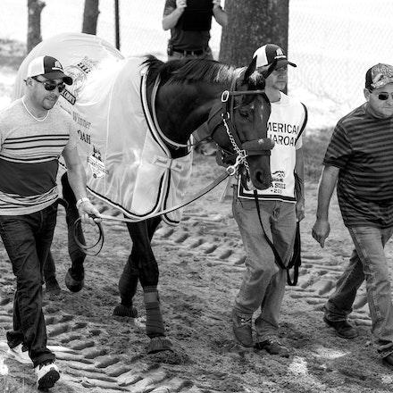 AmericanPharoah-Schooling-07312015- (1) - 2015 Triple Crown Champion, American Pharoah at Monmouth Park Racecourse, preparing for the 2015 Haskell Invitational...
