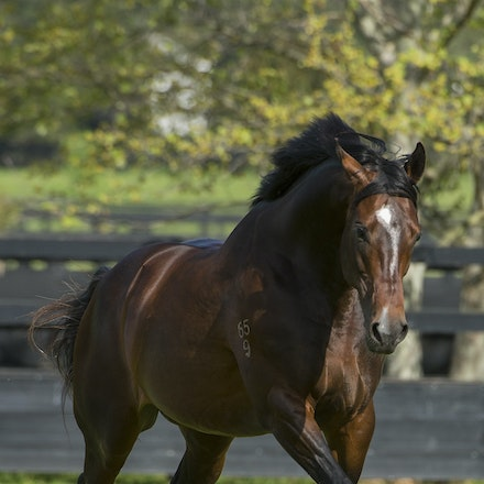 Dundeel-09222015-4923 - Stallion DUNDEEL (High Chaparral - Stareel) photographed at Arrowfield Stud on 22 September 2015.  Picture - Darren Tindale. The...