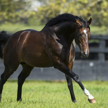 Dundeel-09222015-1475 - Stallion DUNDEEL (High Chaparral - Stareel) photographed at Arrowfield Stud on 22 September 2015.  Picture - Bronwen Healy. The...